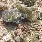 Baby Turtle at Shark Point